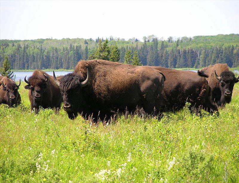Boreal Bison